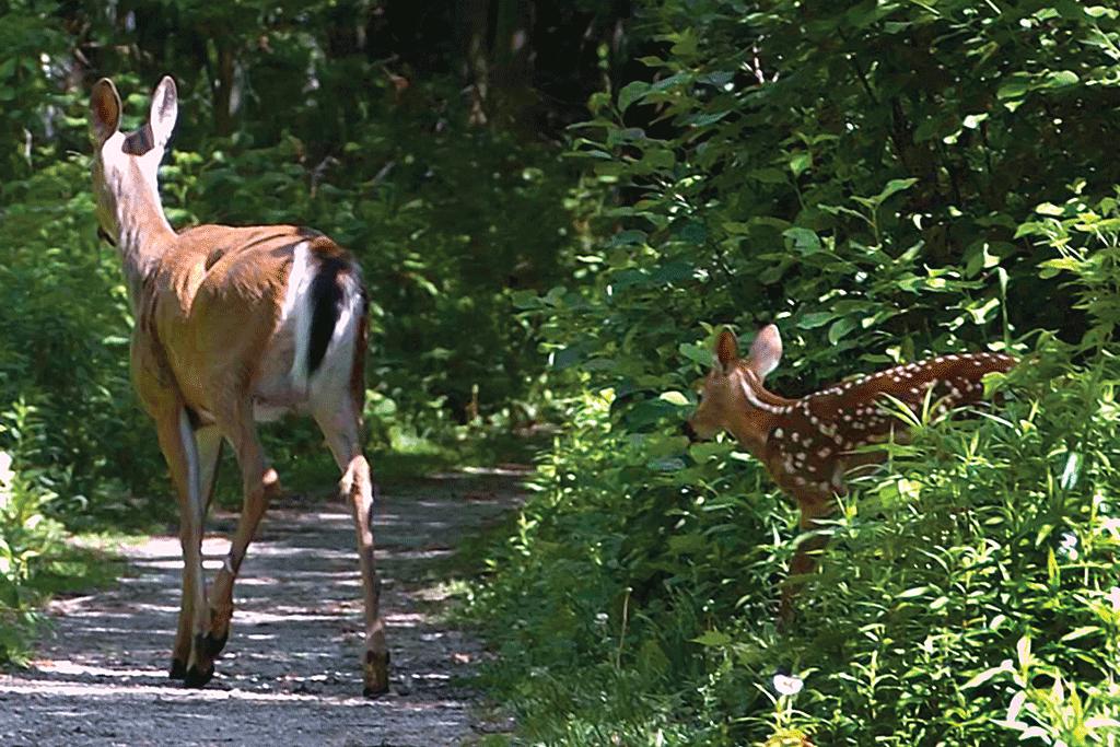 Deer on the Stonebridge Trail